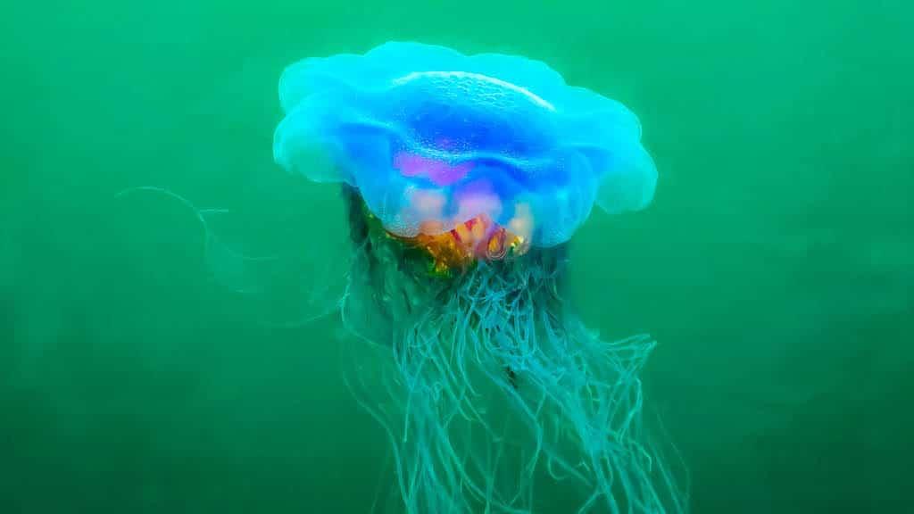 Scillies Lions Mane Jellyfish