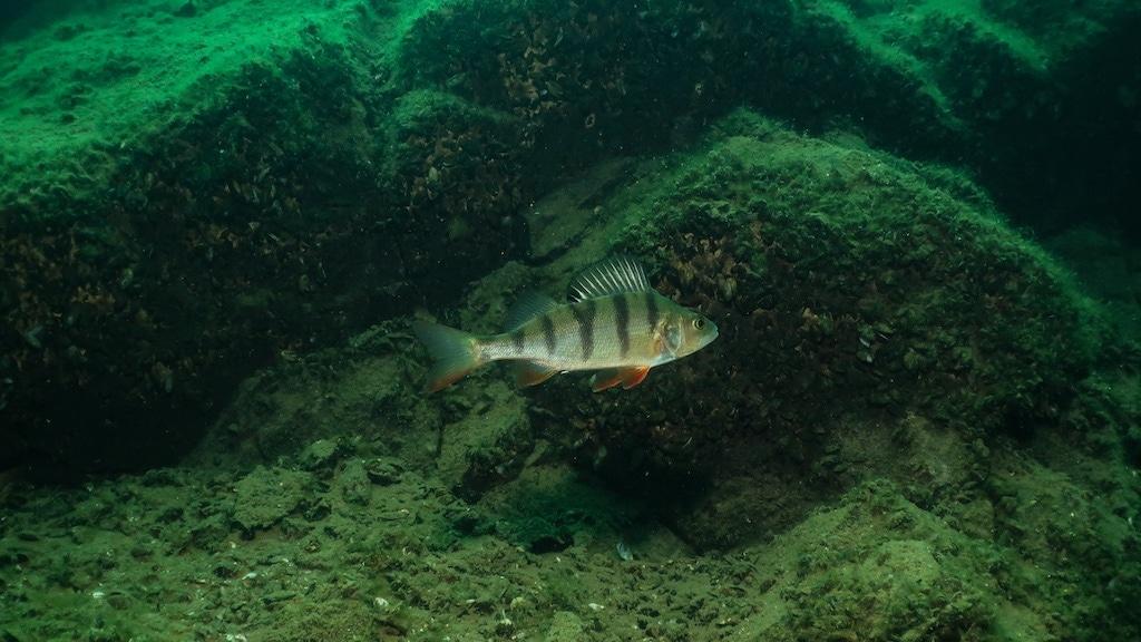 Underwater Perch
