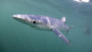 A Weekend Into The BLUE – A Blue Shark And Dolphin Experience
