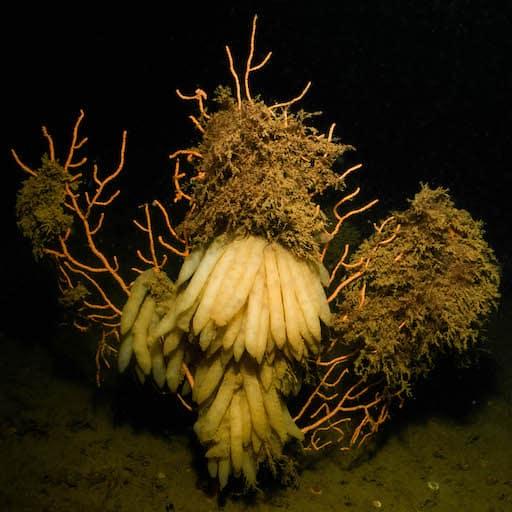 Mandy Bryer (c) Squid Eggs On A Pink Sea Fan