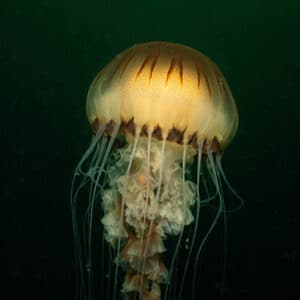 Jellyfish Plymouth